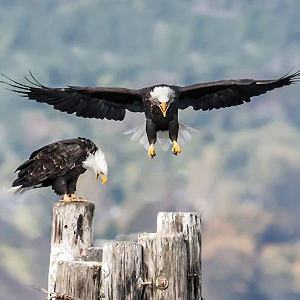 American Eagle Harbor Bainbridge Island
